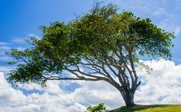 Árbol azotado por el viento con las nubes Fotografía de archivo libre de regalías