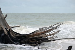 Árbol azotado por el viento en la playa Imágenes de archivo libres de regalías