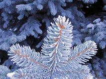 Árbol azul de la helada, aguja del espacio de la nieve Ramas de árbol azules que nievan Imagen de archivo