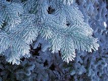 Árbol azul de la helada, aguja estupenda del espacio de la helada Ramas de árbol azules que nievan Imagen de archivo libre de regalías