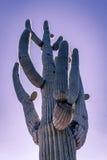 Árbol b del cactus del Saguaro del desierto de Arizona Imagen de archivo libre de regalías
