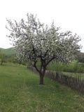 Árbol blanco Fotografía de archivo