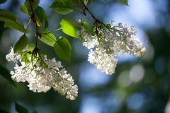 Árbol blanco de la lila imagen de archivo