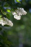 Árbol blanco de la lila foto de archivo