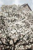 Árbol blanco de la magnolia en la floración Fotos de archivo
