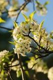 Árbol blanco del flor de cereza Foto de archivo