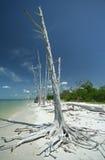 Árbol blanco en la playa de la Florida Foto de archivo libre de regalías