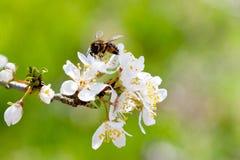 Árbol blanco floreciente en primavera - jardín de la primavera o huerta de Foto de archivo