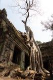 Árbol blanco gigante que crece en las ruinas de piedra del templo estrellado en Camboya foto de archivo