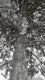 Árbol blanco y negro Fotografía de archivo