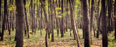 Árbol-bosque joven Fotografía de archivo libre de regalías