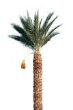 Árbol brillante de la fecha-palma aislado en blanco Imagen de archivo