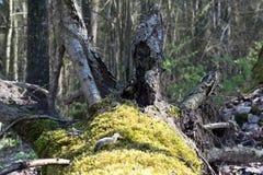 Árbol caido Imagenes de archivo