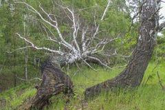 Árbol caido Imágenes de archivo libres de regalías