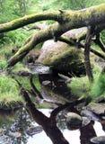 Árbol caido con las ramas alrededor de un canto rodado grande Imagen de archivo