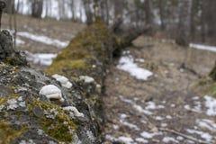 Árbol caido demasiado grande para su edad con los parásitos del musgo y de las setas fotografía de archivo libre de regalías