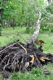 Árbol caido después de la tormenta ventosa Foto de archivo