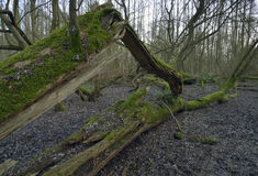 Árbol caido en arbolado mojado Fotografía de archivo