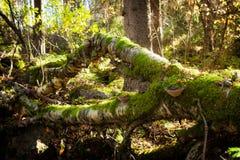 Árbol caido en bosque Imagen de archivo