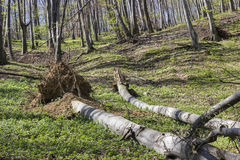 Árbol caido en el bosque Fotografía de archivo