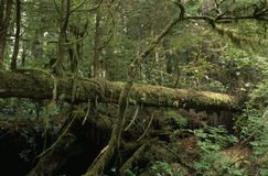 árbol caido en una selva tropical Fotos de archivo libres de regalías