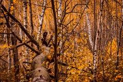 Árbol caido fondo natural del otoño en un bosque brillante Foto de archivo libre de regalías