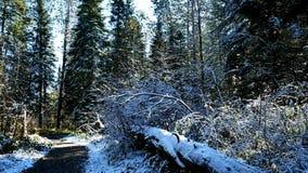 Árbol caido a lo largo de la pista de senderismo de Schoolcraft en parque de estado de Itasca en Minnesota almacen de metraje de vídeo