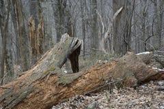 Árbol caido masivo en bosque fotografía de archivo libre de regalías