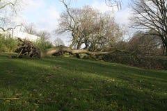 Árbol caido [noticias] Foto de archivo libre de regalías