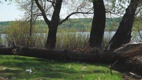 Árbol caido viejo en la orilla almacen de video