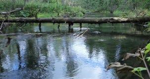 Árbol caido viejo a través del río y el flujo de agua en el bosque almacen de metraje de vídeo