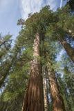 Árbol California de la secoya Imagen de archivo