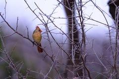 Árbol cardinal femenino de Bird Perched que parece derecho Fotos de archivo