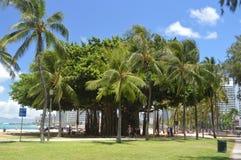 Árbol centenario en la playa de Waikiki imagenes de archivo