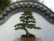 Árbol chino de los bonsais Fotografía de archivo libre de regalías