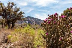 Árbol Cholla en parque nacional de la curva grande Imágenes de archivo libres de regalías