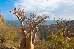 Árbol color de rosa del desierto, isla de Socotra, Yemen Imágenes de archivo libres de regalías