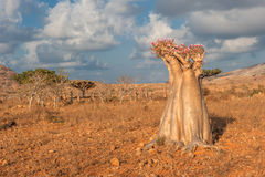 Árbol color de rosa del desierto, isla de Socotra, Yemen Fotos de archivo