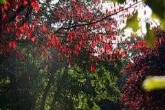 Árbol coloreado rojo en la caída Imagen de archivo libre de regalías