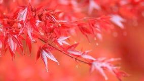 Árbol colorido del otoño en la lluvia almacen de video