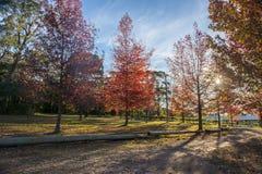 Árbol colorido hermoso de Autumn Maple Imagenes de archivo