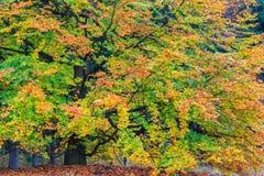 Árbol colorido hermoso del otoño en un bosque Fotos de archivo libres de regalías