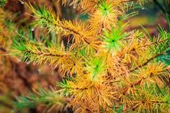 Árbol colorido hermoso del otoño en un bosque Imágenes de archivo libres de regalías