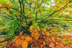 Árbol colorido hermoso del otoño en un bosque Foto de archivo libre de regalías