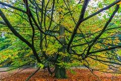 Árbol colorido hermoso del otoño en un bosque Imagenes de archivo