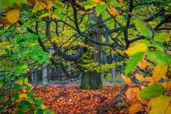 Árbol colorido hermoso del otoño en un bosque Imagen de archivo