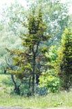 Árbol conífero. imagenes de archivo