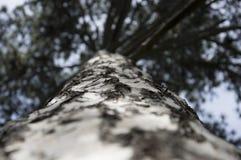 Árbol conífero Foto de archivo libre de regalías