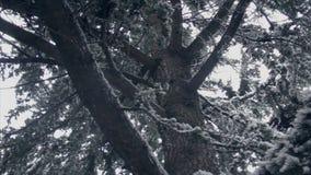 Árbol conífero cubierto con la nieve, visión desde la parte inferior almacen de metraje de vídeo