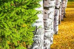 Árbol conífero, árbol de abeto en un fondo de los árboles de abedul Foto de archivo libre de regalías